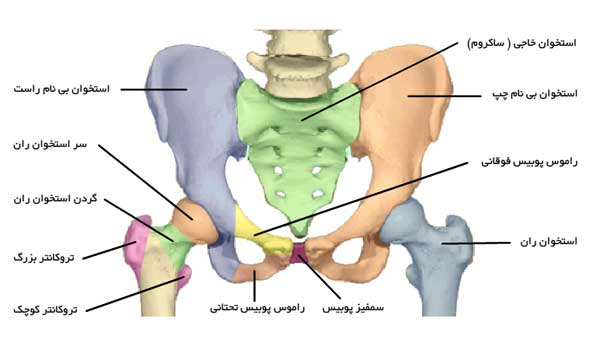آناتومی استخوان لگن